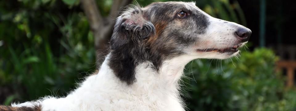 Borzoi – Russian Wolfhound